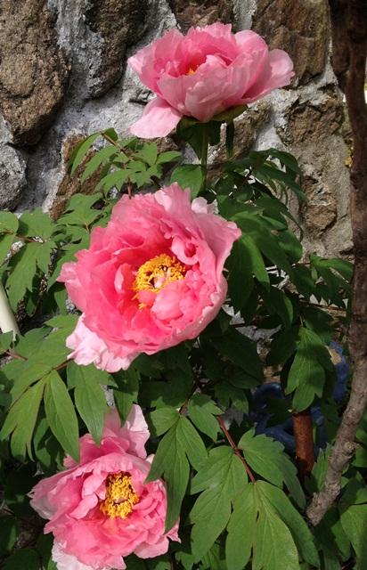 わが家の周りの春☆ 第2弾(^_-)-☆そして父の藤_a0213806_10535652.jpg