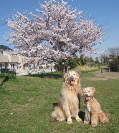 4月14日 桜が満開でした_e0136815_1401354.jpg
