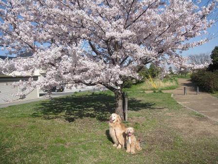 4月14日 桜が満開でした_e0136815_1403322.jpg