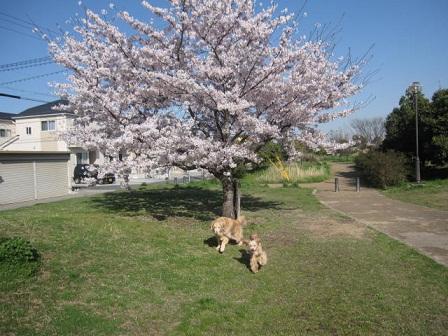 4月14日 桜が満開でした_e0136815_1411597.jpg
