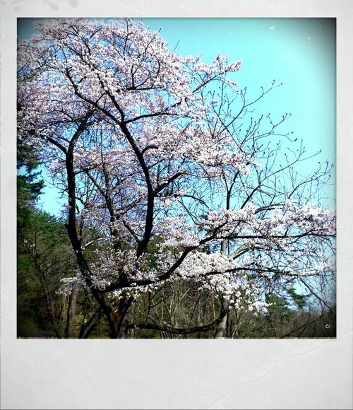 会津は桜が満開です♪。_e0114422_8392544.jpg