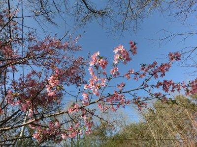 風路前の通りの桜が満開_f0019247_2249053.jpg