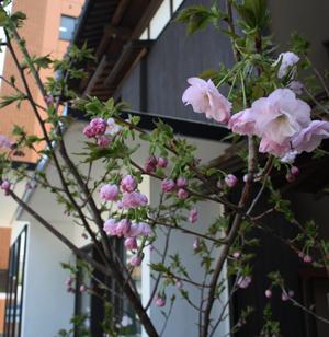 『蔵織の花が咲いたよ』・カメラマンの相田諒二さんがやってきた_d0178448_10582666.jpg