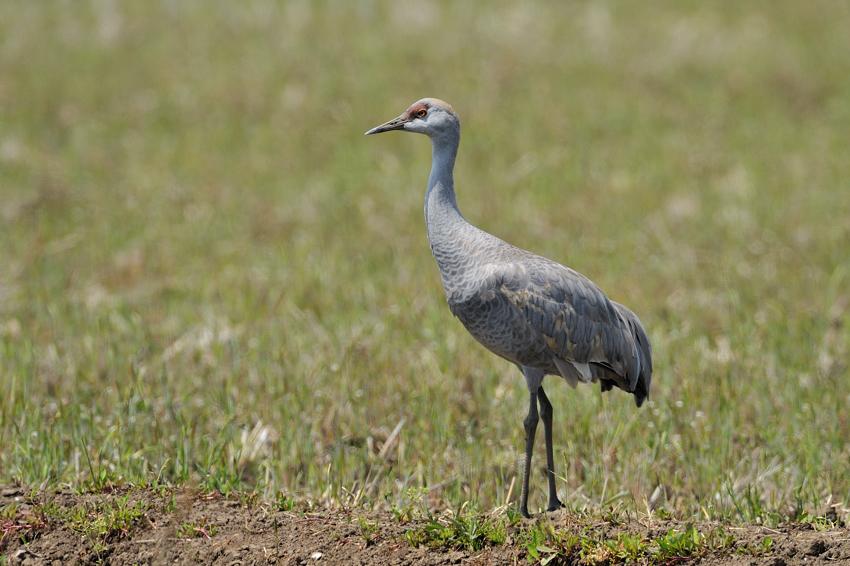 カナダヅル(Sandhill Crane)〜2012.04_b0148352_11274675.jpg