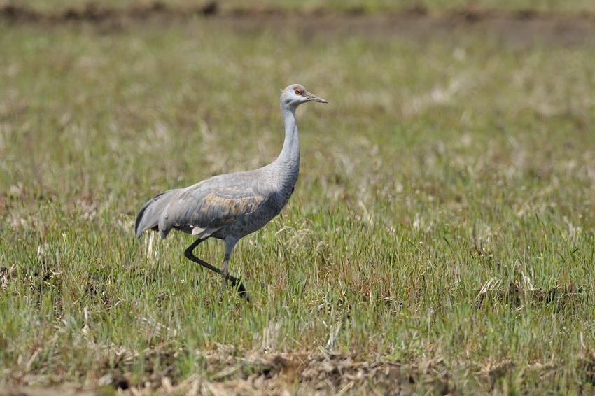 カナダヅル(Sandhill Crane)〜2012.04_b0148352_11275542.jpg