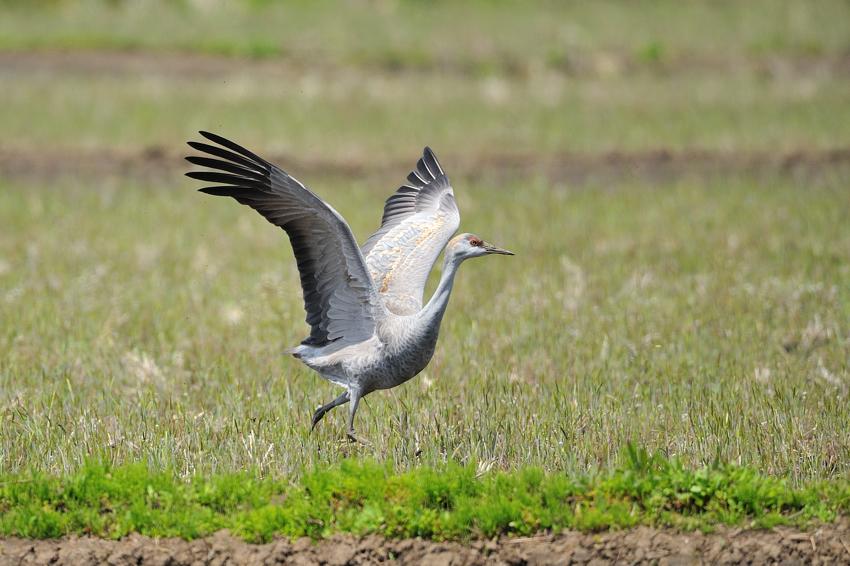 カナダヅル(Sandhill Crane)〜2012.04_b0148352_11281566.jpg