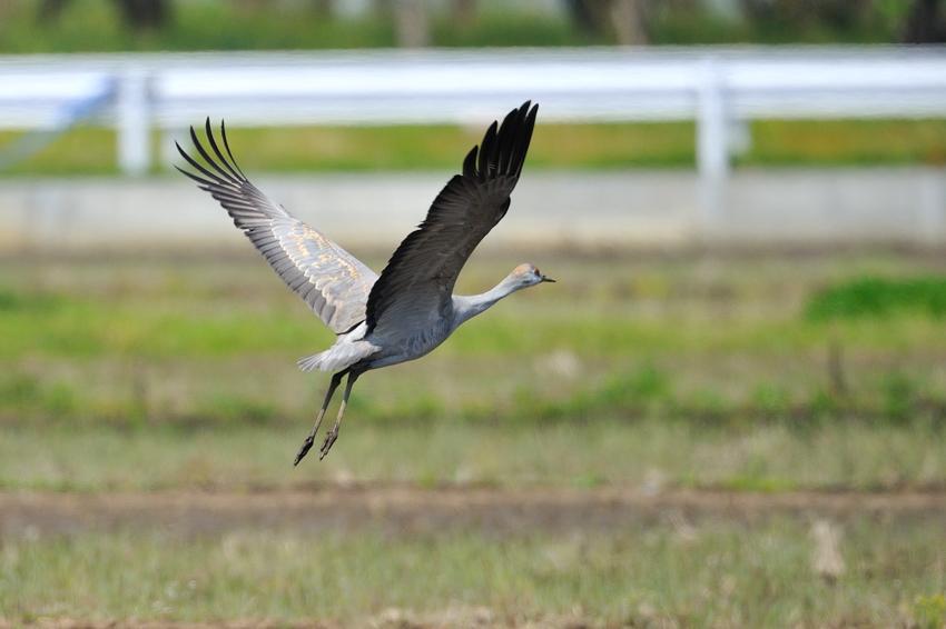 カナダヅル(Sandhill Crane)〜2012.04_b0148352_11282272.jpg