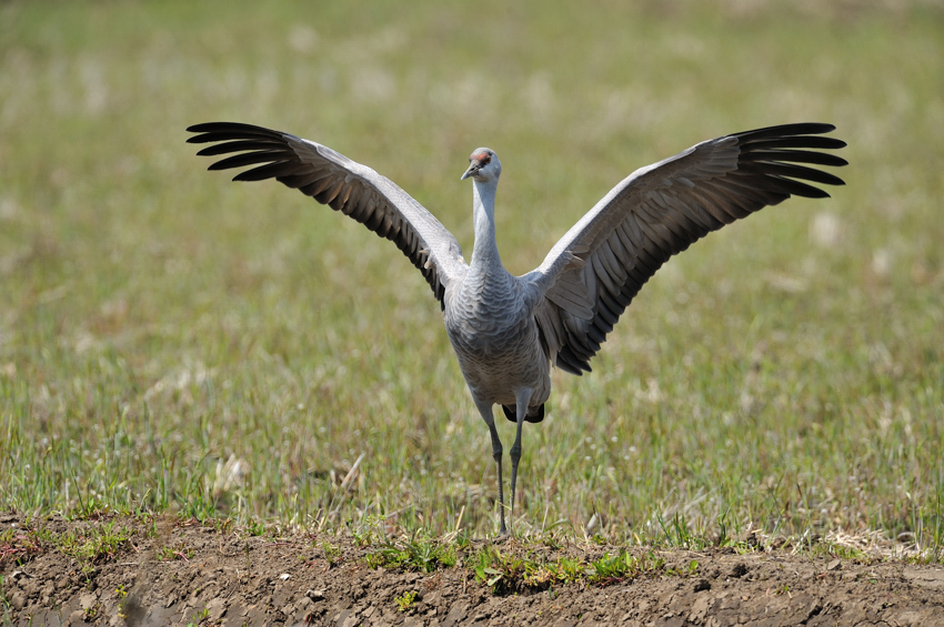 カナダヅル(Sandhill Crane)〜2012.04_b0148352_1128655.jpg