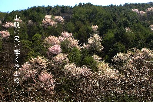 山桜_e0099713_19334375.jpg