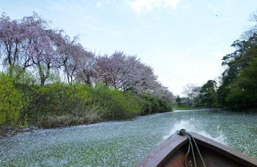 名残の桜_c0093046_957212.jpg
