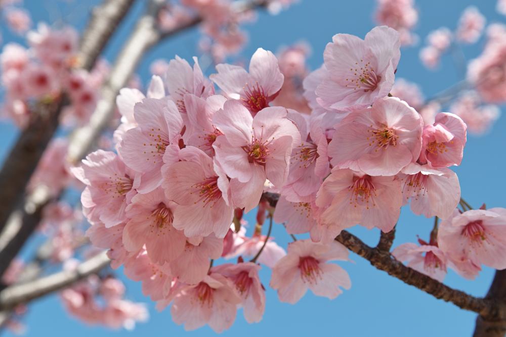 ゆいの花公園のかわいいサクラ_c0223825_10551159.jpg