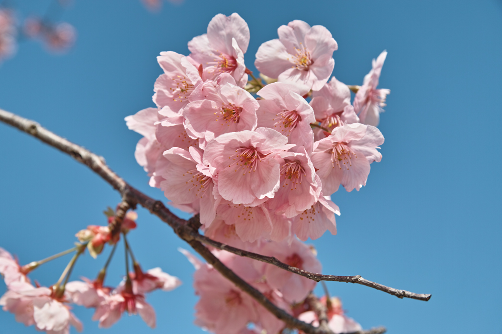 ゆいの花公園のかわいいサクラ_c0223825_10562338.jpg