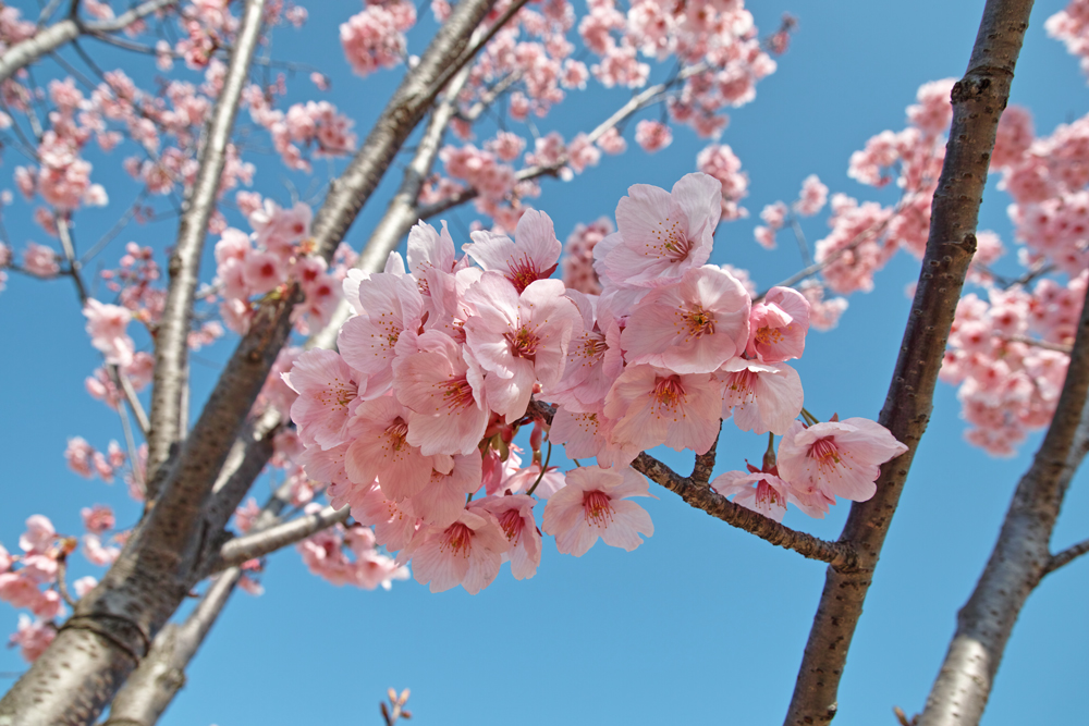 ゆいの花公園のかわいいサクラ_c0223825_11394281.jpg