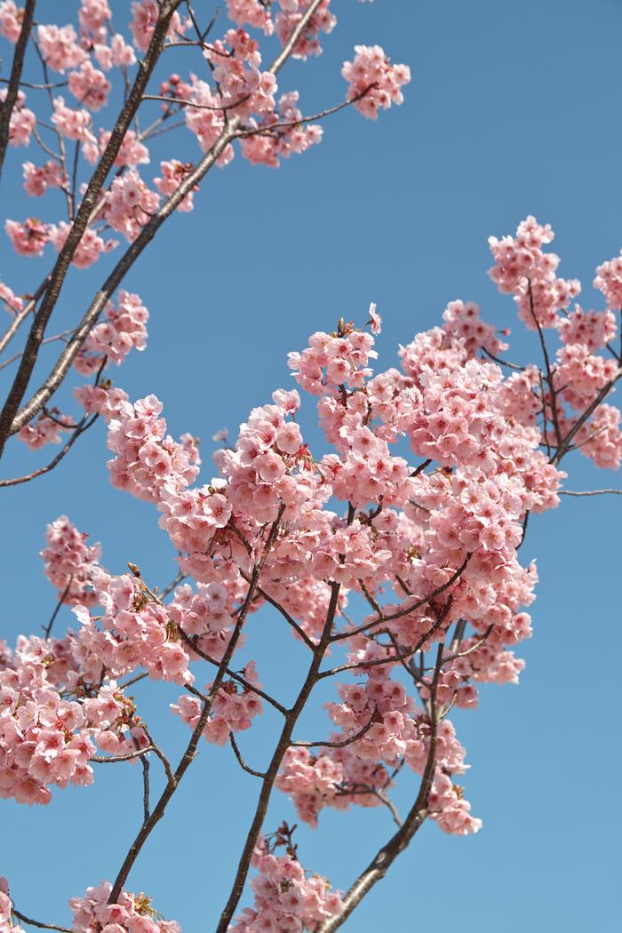 ゆいの花公園のかわいいサクラ_c0223825_11415826.jpg