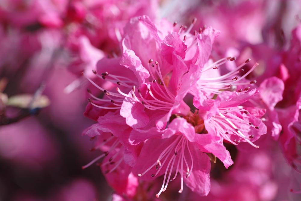 ゆいの花公園のかわいいサクラ_c0223825_12172086.jpg