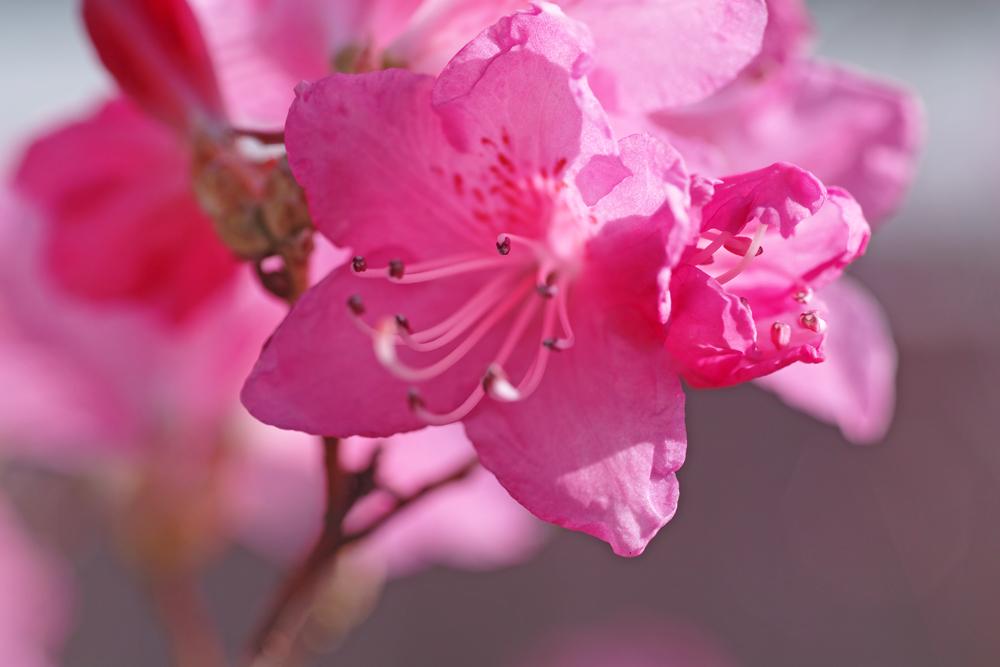 ゆいの花公園のかわいいサクラ_c0223825_12182455.jpg