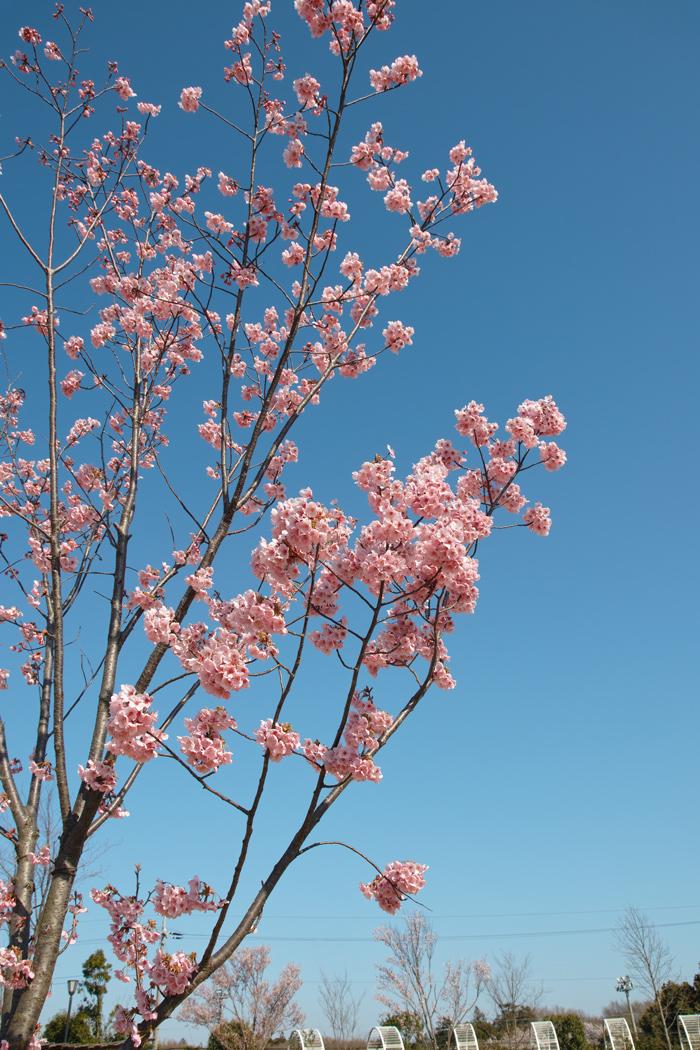 ゆいの花公園のかわいいサクラ_c0223825_1223615.jpg