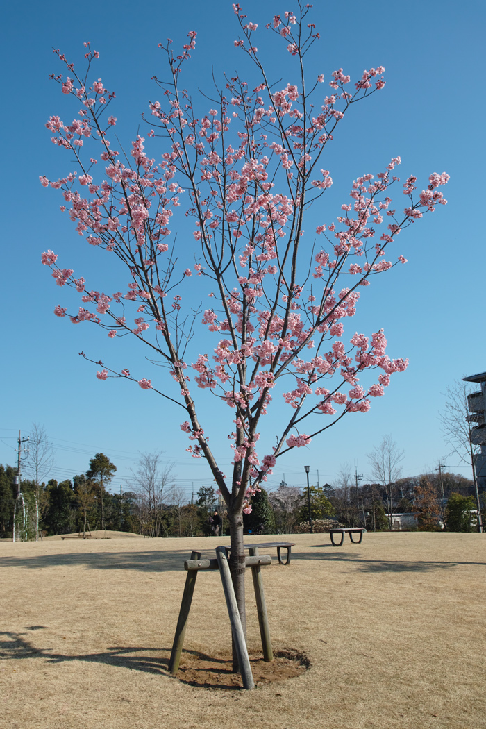 ゆいの花公園のかわいいサクラ_c0223825_1235236.jpg
