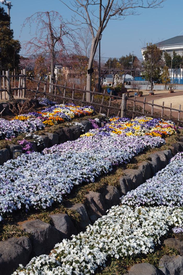 ゆいの花公園のかわいいサクラ_c0223825_12422927.jpg