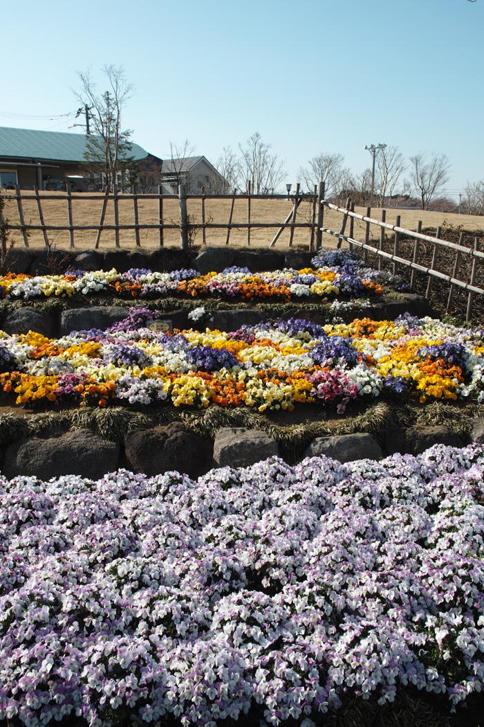 ゆいの花公園のかわいいサクラ_c0223825_12432993.jpg