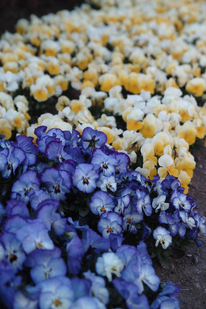 ゆいの花公園のかわいいサクラ_c0223825_12491046.jpg