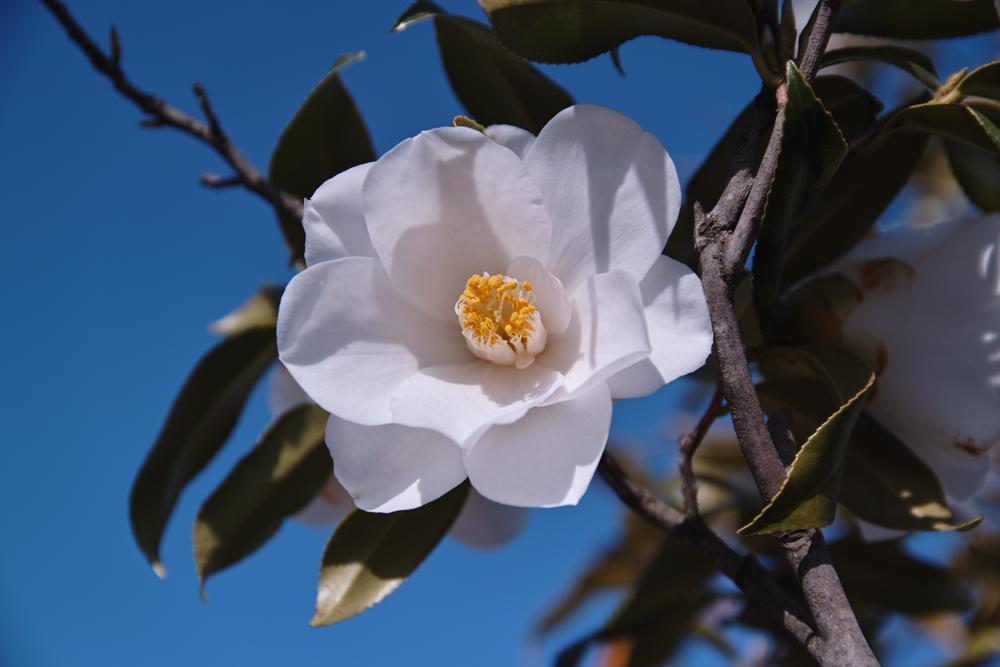 ゆいの花公園のかわいいサクラ_c0223825_128429.jpg