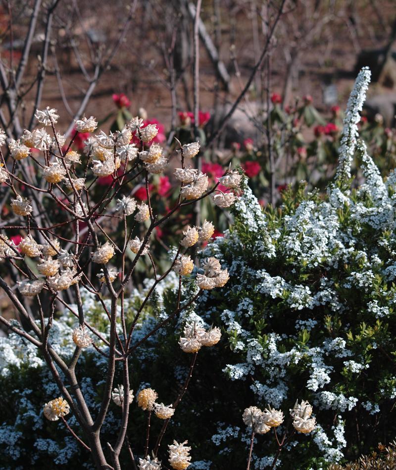 ゆいの花公園のかわいいサクラ_c0223825_131149.jpg