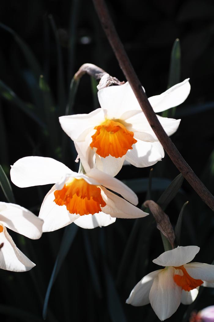 ゆいの花公園のかわいいサクラ_c0223825_13331134.jpg