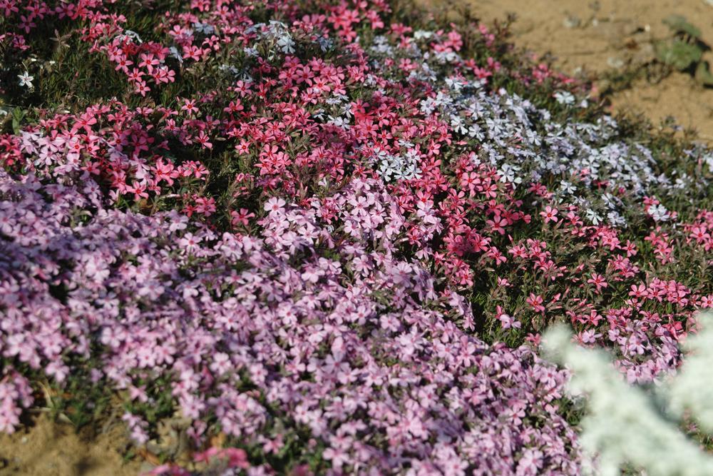 ゆいの花公園のかわいいサクラ_c0223825_13364216.jpg