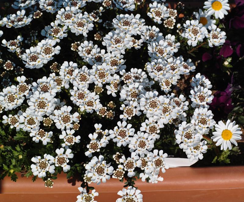 ゆいの花公園のかわいいサクラ_c0223825_13394715.jpg