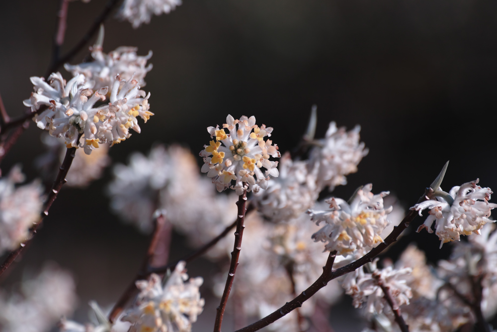 ゆいの花公園のかわいいサクラ_c0223825_1391723.jpg