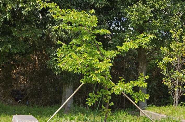 野口初太郎翁頌徳碑建立地の夫婦桜無残!(12・4・15)_c0014967_10441262.jpg