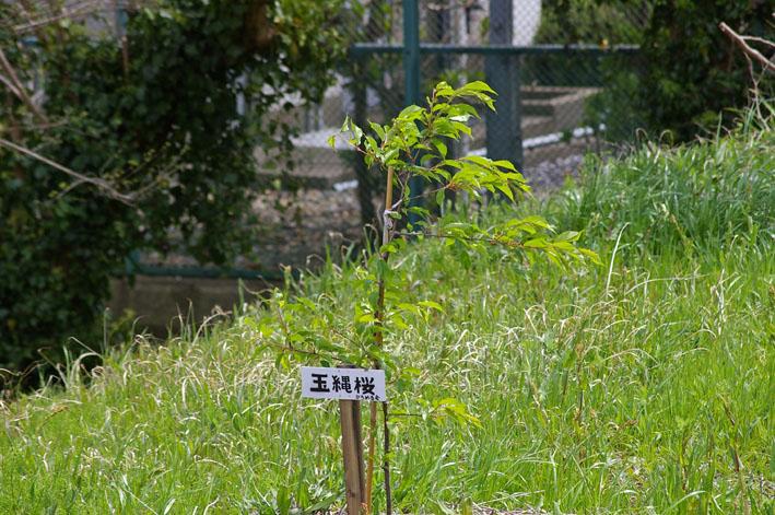 野口初太郎翁頌徳碑建立地の夫婦桜無残!(12・4・15)_c0014967_1044471.jpg