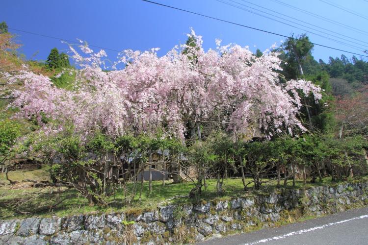 黒田百年桜_e0051888_17331324.jpg