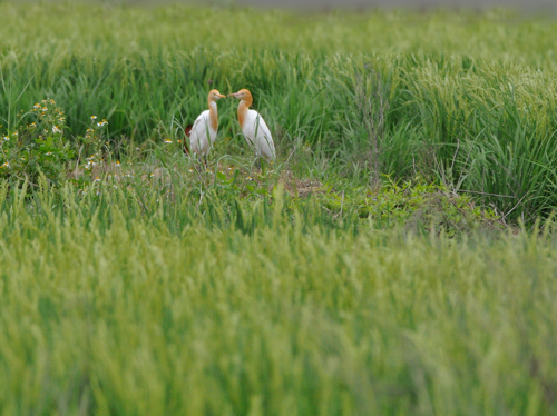 南西諸島の鳥たち(2)アマサギ_a0204089_0442693.jpg