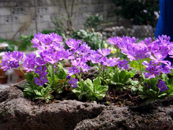コザクラが咲き始め、ニリンソウやヒトリシズカも・・・_a0136293_18215671.jpg