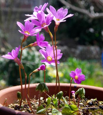 コザクラが咲き始め、ニリンソウやヒトリシズカも・・・_a0136293_18262836.jpg