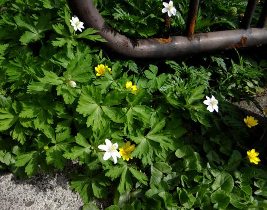コザクラが咲き始め、ニリンソウやヒトリシズカも・・・_a0136293_1910100.jpg