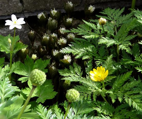 コザクラが咲き始め、ニリンソウやヒトリシズカも・・・_a0136293_1934546.jpg