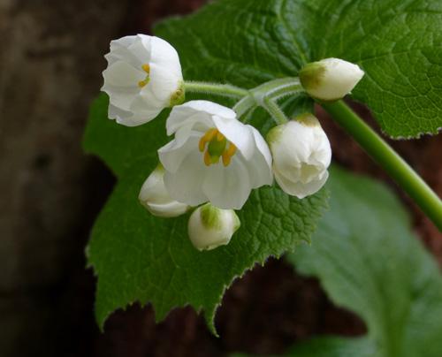 コザクラが咲き始め、ニリンソウやヒトリシズカも・・・_a0136293_1955797.jpg