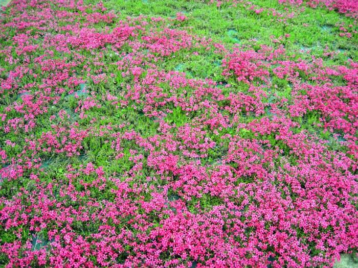 花のじゅうたん_e0016894_1895986.jpg