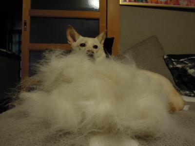 犬のコート_f0232994_4193683.jpg