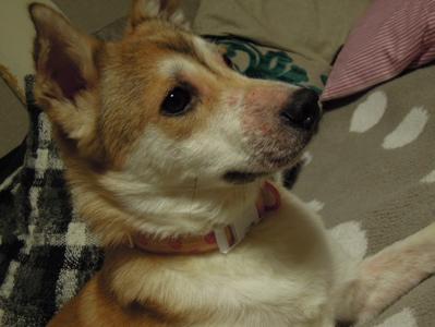 犬のコート_f0232994_4335526.jpg
