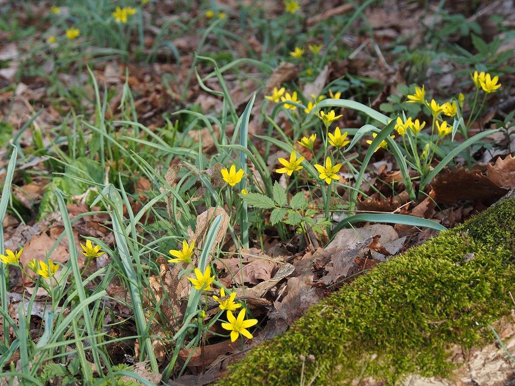 4月30日、裏山の野草とアカゲラ_f0138096_17142993.jpg