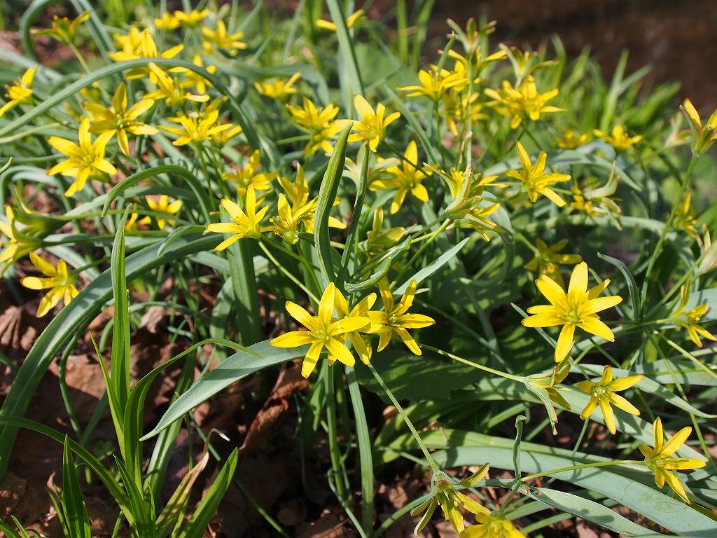 4月30日、裏山の野草とアカゲラ_f0138096_17144456.jpg