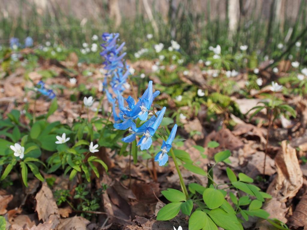 4月30日、裏山の野草とアカゲラ_f0138096_17145569.jpg