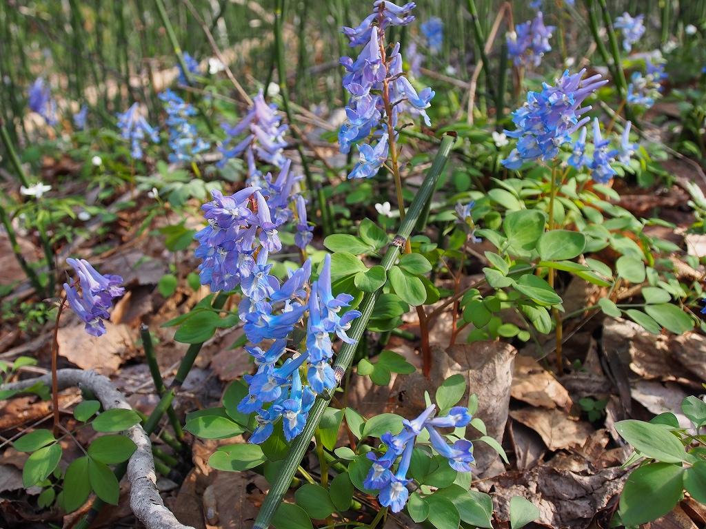 4月30日、裏山の野草とアカゲラ_f0138096_17152020.jpg