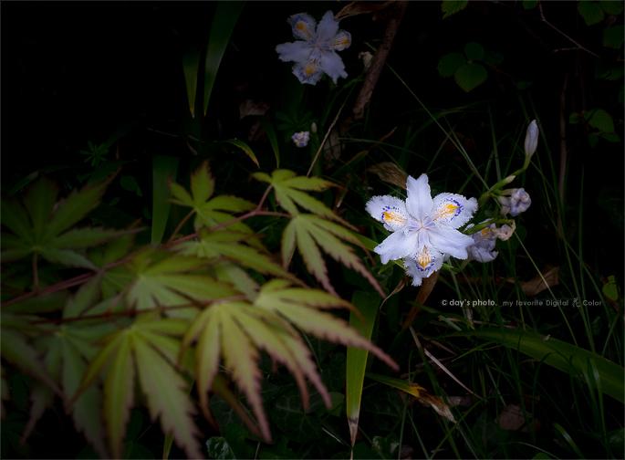 著莪 - Iris japonica -_e0117517_005037.jpg