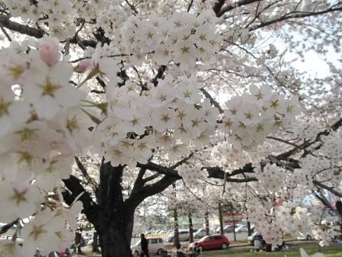 桜_c0241324_1164961.jpg