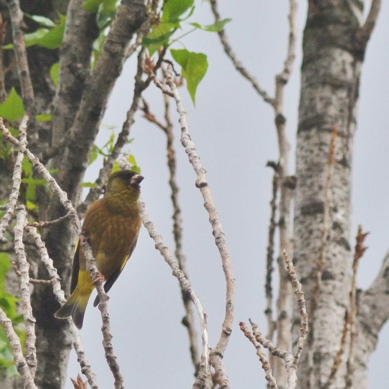 BORG45EDII+Nikon J1で鳥撮り_e0089232_19395797.jpg